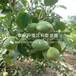 短枝矮化苹果苗出售、2019年短枝矮化苹果苗基地