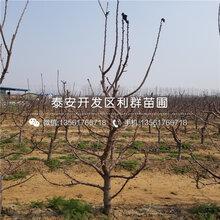 山东矮化樱桃苗、山东矮化樱桃苗多少钱图片