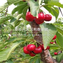 一株吉塞拉6號砧木櫻桃苗多少錢圖片