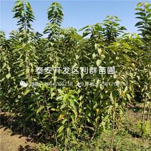 新品种矮化樱桃树苗价格图片
