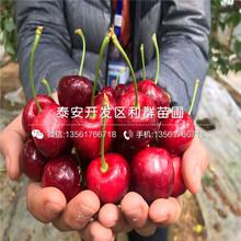 北村蓝莓苗批发价格图片