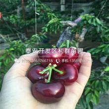 矮化岱紅大櫻桃樹苗、矮化岱紅大櫻桃樹苗新品種圖片