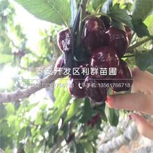 矮化吉美樱桃苗哪里便宜、矮化吉美樱桃苗多少钱一棵图片