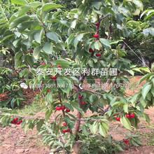 愛國者藍莓苗出售價格圖片