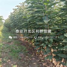 新品種新秋柿子樹苗、新品種新秋柿子樹苗基地圖片