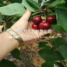 矮化矮化大樱桃树苗多少钱一棵、矮化矮化大樱桃树苗价格图片