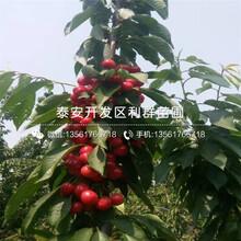 山東3公分柿子樹苗批發、山東3公分柿子樹苗價格圖片