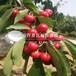 山东莱格西蓝莓树苗多少钱一棵、山东莱格西蓝莓树苗出售