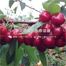 2019年半高丛蓝莓树苗、半高丛蓝莓树苗多少钱一棵图片