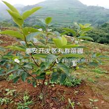 山東矮化大櫻桃樹苗出售基地圖片