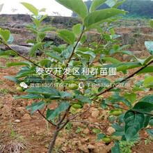一棵吉塞拉砧木根系樱桃苗、一棵吉塞拉砧木根系樱桃苗多少钱图片