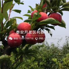 哪里有大樱桃树苗图片