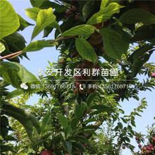 矮化兰丁2号根系大樱桃苗批发价格、2019年矮化兰丁2号根系大樱桃苗多少钱一棵图片