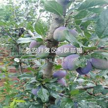 6公分樱桃树苗、6公分樱桃树苗批发价格是多少图片