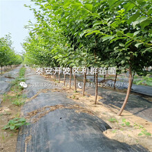 山东矮化晚红珠樱桃树苗多少钱一棵图片