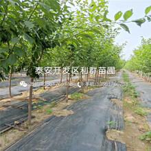 山東大粒星藍莓樹苗、山東大粒星藍莓樹苗批發價格是多少圖片