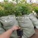 哪里有賣蓮花柿子樹苗、蓮花柿子樹苗價格是多少