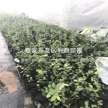 2019年上海青皮无花果树苗新品种图片