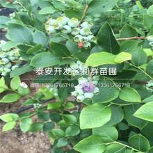 2019年早酥梨樹苗報價圖片