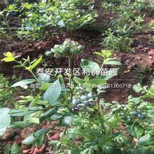 新品种M26苹果树苗批发图片