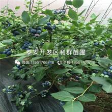 2019年瞳仁蓝莓树苗、瞳仁蓝莓树苗批发图片
