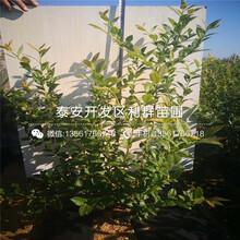 矮化拉宾斯樱桃树苗、2019年矮化拉宾斯樱桃树苗价格图片