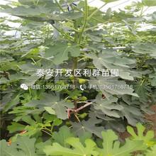 黑琥珀李子苗品种、2019年黑琥珀李子苗新品种图片