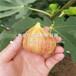 矮化吉塞拉7号大樱桃苗、矮化吉塞拉7号大樱桃苗批发价格多少