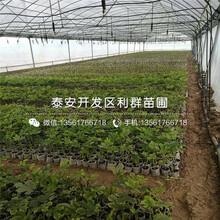 吉塞拉6号砧木樱桃树苗什么价位图片