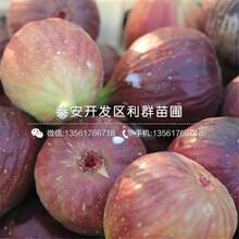 矮化蘋果樹苗出售、矮化蘋果樹苗報價圖片