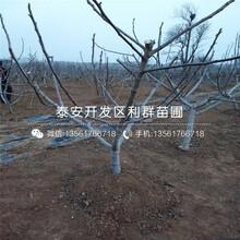 山东1公分柿子树苗出售价格是多少图片