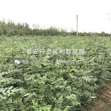 山東核桃樹品種、山東核桃樹多少錢一棵圖片
