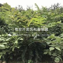 莲花柿子苗什么价格、附近哪里有莲花柿子苗出售图片