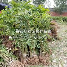 中农红无花果树苗销售价格图片