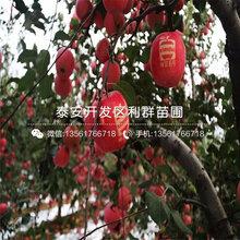 華碩隻果樹苗哪里有賣、華碩隻果樹苗多少錢一(yi)棵(ke)圖片