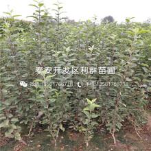 紅色之愛119-06蘋果樹苗批發價格圖片