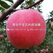 黄元帅苹果树苗报价及价格图片