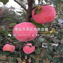 矮化蘋果苗、矮化蘋果樹苗價格多少圖片