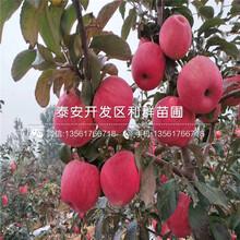 新品種糖心蘋果樹苗、新品種糖心蘋果樹苗出售圖片