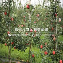 七月天仙蘋果苗品種介紹、七月天仙蘋果苗多少錢一棵圖片