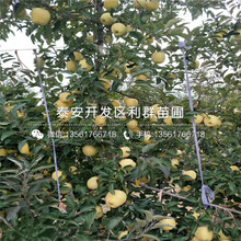 哪里有賣世界1號蘋果苗圖片