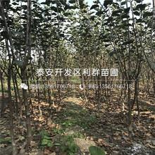 潤太1號柱狀蘋果樹苗、潤太1號柱狀蘋果樹苗價格及報價圖片