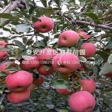 新品種短枝蘋果苗批發圖片