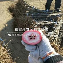 新品種1公分蘋果樹苗圖片