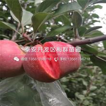 2019年響富蘋果樹苗批發圖片