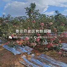 山東紅將軍蘋果樹苗價格及報價圖片