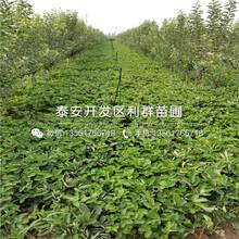 太空2008草莓苗多少錢圖片