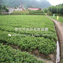 奶油草莓苗批發基地圖片