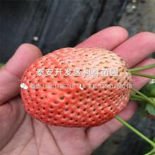 四季草莓苗出售基地圖片