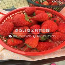 山東九香草莓苗、山東九香草莓苗基地圖片